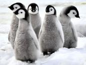 Тур в Антарктиду, колония пингвинов