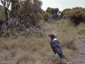 Фото из тура в Танзанию в 2004 году. Специальная Килиманджарская ворона.