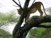 Фото из тура в Танзанию в 2005 году. Львица только что сожрала буйвола и залезла на дерево, чтобы переварить обед.
