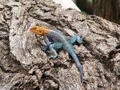Фото из тура в Танзанию в 2005 году. Расцветки у ящериц бывают самые экзотические.