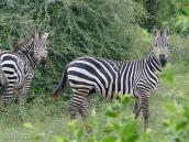 Фото из тура в Танзанию в 2005 году. А вот и зебры.