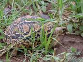 Фото из тура в Танзанию в 2005 году. Крупная черепаха, когда ее взяли на руки, описалась от страха, и ее поскорее отпустили обратно в траву.