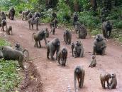 Фото из тура в Танзанию в 2005 году. Бабуины собираются в большие стаи и тогда становятся очень опасны.