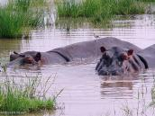 Фото из тура в Танзанию в 2005 году. Бегемоты днем принимают ванны в болоте.