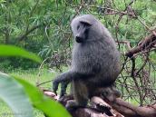 Фото из тура в Танзанию в 2005 году. Бабуин - то же, что и павиан.