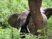 Фото из тура в Танзанию в 2005 году. Из чащи выходит слон.