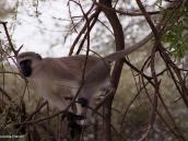 Фото из тура в Танзанию в 2005 году. Мартышка мчится по ветвям.
