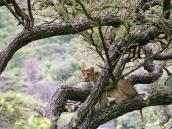 Фото из тура в Танзанию в 2005 году. Львицы, лазающие по деревьям - отличительная особенность парка Маньяра.