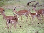 Фото из тура в Танзанию в 2005 году. Движения антилоп импала напоминают кордебалет.