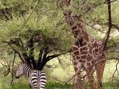Фото из тура в Танзанию в 2005 году. Рядом могут пастись совершенно разные звери, например, жирафы и зебры.