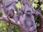 """Фото из тура в Танзанию в 2005 году. Бабуины - """"братья по разуму""""."""