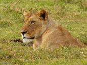 Фото из тура в Танзанию в 2005 году. Львица в размышлении, чего бы еще покушать.