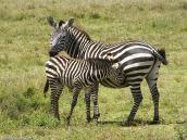 Фото из тура в Танзанию в 2005 году. Зебры. Общение матери и подросшего жеребенка.