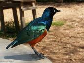 Фото из тура в Танзанию в 2005 году. В гости в лодж прилетают красивейшие птицы.