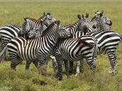 Фото из тура в Танзанию в 2005 году. Зебры - коллективные животные.