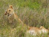Фото из тура в Танзанию в 2005 году. Молодые львы играют в траве.
