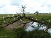 Фото из тура в Танзанию в 2005 году. Цапли на насесте.
