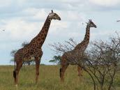 Фото из тура в Танзанию в 2005 году. Маньяра. Флегматичные жирафы.