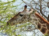 Фото из тура в Танзанию в 2005 году. Жираф достает свежую листву кроны высокой акации.