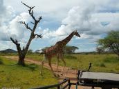 Фото из тура в Танзанию в 2005 году. Кажется, животные не обращают на джипы никакого внимания.
