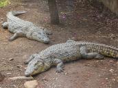 Фото из тура в Танзанию в 2005 году. Крокодилы ползают повсюду.