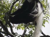 Фото из тура в Танзанию в 2011 году. Коллабус - черно-белая обезьяна с пушистым хвостом - населяет леса у подножия Килиманджаро.
