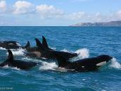 Фото из тура в Новую Зеландию в 2011 году. В поисках дымчатых дельфинов наткнулись на косаток (maki) , Новая Зеландия.