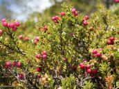 Фото из тура в Патагонию в 2012 году. Местные ягоды Патагонии, весьма съедобно!