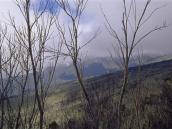 Выше лагеря Мачаме лес на склонах Килиманджаро редеет.