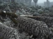 Сенеции, эндемики Килиманджаро, не сбрасывают листьев, защищаясь от перепадов температуры.