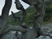 Корни коряги, как змеи