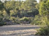 Антилопы в сухом русле реки