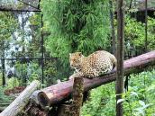 Леопард в Сиккимском зоопарке