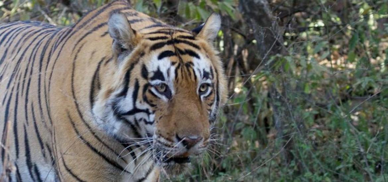 Тур в Индию: Наблюдение за бенгальскими тиграми