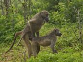 Бабуины - пикантный момент