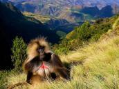 Путешествие по Эфиопии, обезьяны гелада в горах Симиен.