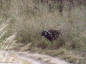 Фото из тура в Танзанию в 2003 году. Дикий буйвол.