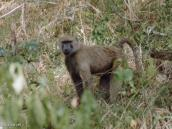 Фото из тура в Танзанию в 2003 году. Бабуин.