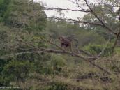 Фото из тура в Танзанию в 2003 году. Бабуин на дереве.