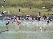 Фото из тура в Танзанию в 2003 году. Стая взлетающих фламинго.