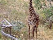 Фото из тура в Танзанию в 2003 году. Жираф: фото в рост.