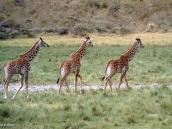 Фото из тура в Танзанию в 2003 году. Колонна жирафов.