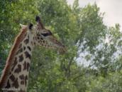 Фото из тура в Танзанию в 2003 году. Жираф - воплощение изящества.