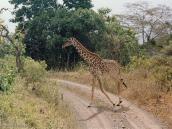 Фото из тура в Танзанию в 2003 году. Встреча на дороге.