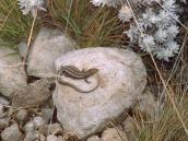 Фото из тура в Танзанию в 2003 году. Пригревшаяся на камне ящерица.