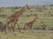 """Фото из тура в Танзанию в 2008 году. """"Изысканный бродит жираф!"""""""