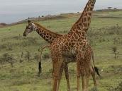 Фото из тура в Танзанию в 2008 году. До чего же всем нам хочется, братцы, на жирафе на живом покататься!