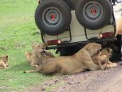 Фото из тура в Танзанию в 2008 году. Львы не выдерживают жару и находят тень под джипами.