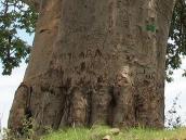 Фото из тура в Танзанию в 2008 году. Этот баобаб мы не смогли обнять даже в восьмиром, Серенгети.