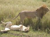 Фото из тура в Танзанию в 2008 году. Лев на работе, львица работой вроде довольна.